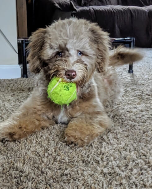 Lucy with a tennis ball in her mouth