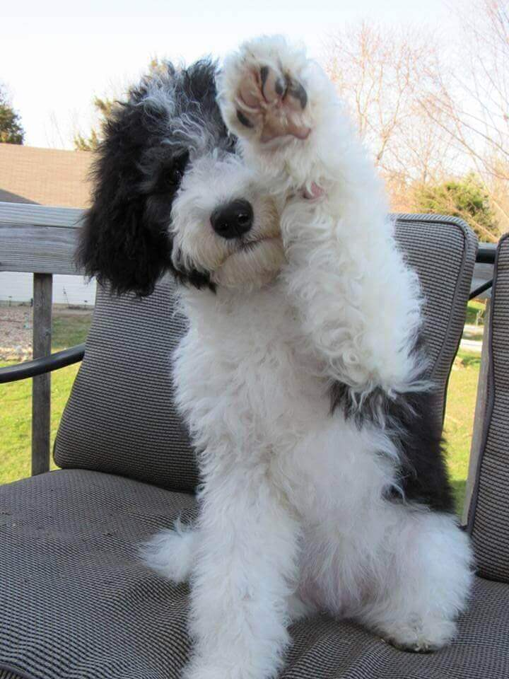 Madison as a puppy offering her paw