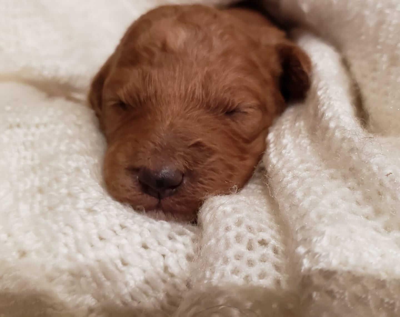 McKinley as a newborn puppy