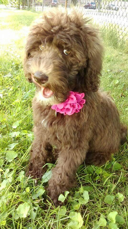 Reagan as a puppy with a flower on her collar