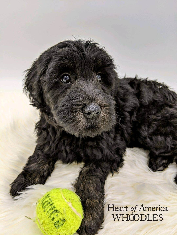 Rosie as a puppy with a tennis ball
