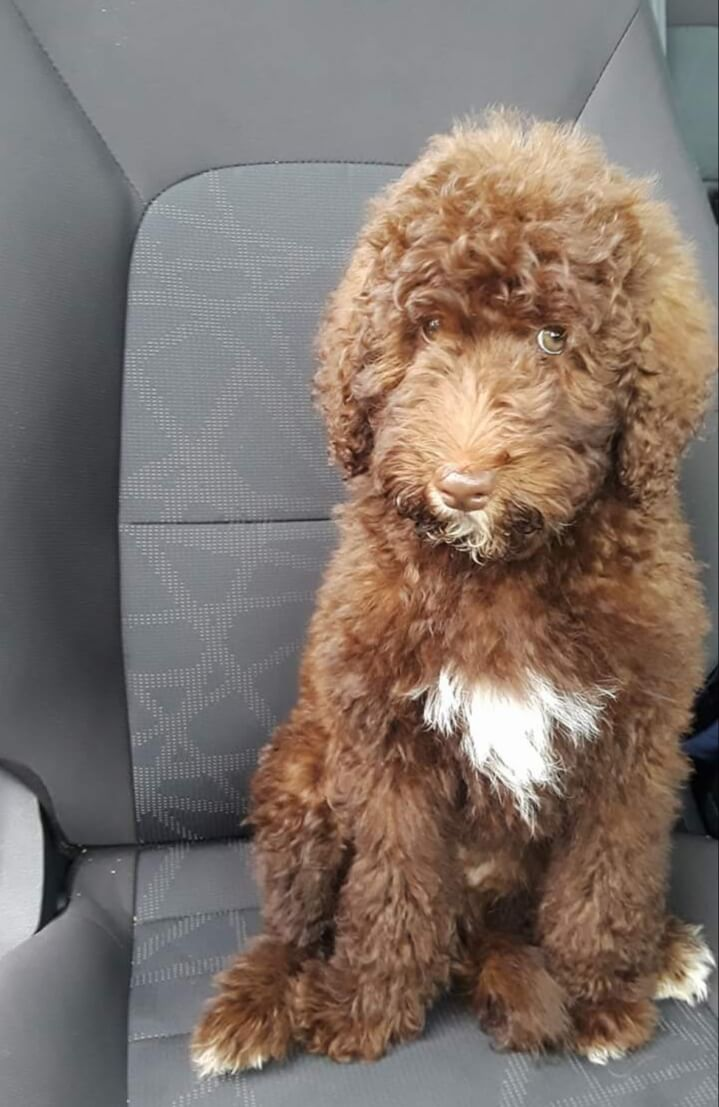 Taylor as a puppy sitting in the car
