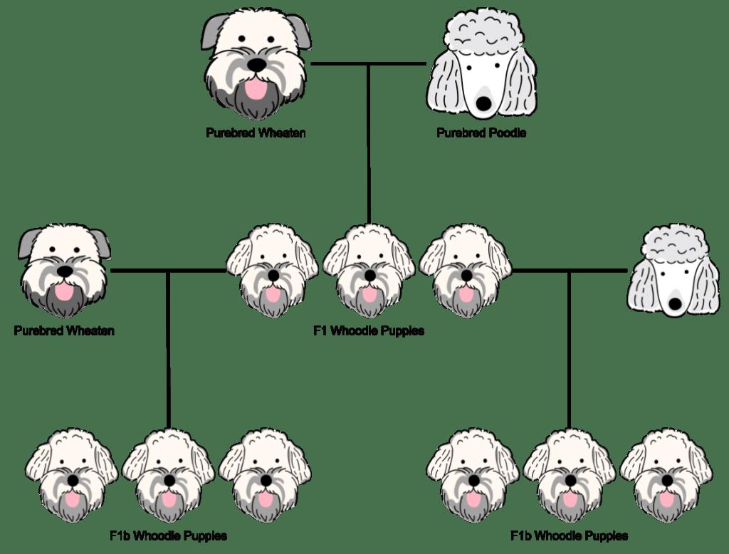 An f1b generation whoodle breeding chart