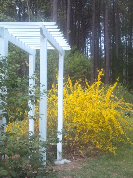 New Trellis with forsythis in full bloom, Apr. 11, 2013
