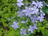 Spring Phlox