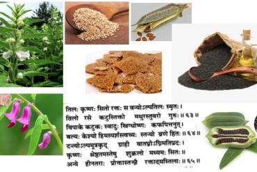 The holy plant :  indian basil, Ocimum sanctum, Ocimum gratissimum Lamiaceae.