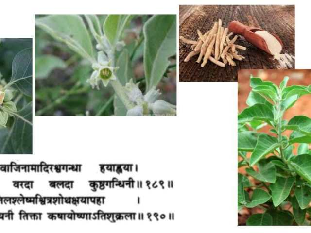 ashwagandha withania-somnifera ayurveda paris rasayana indian-ginseng