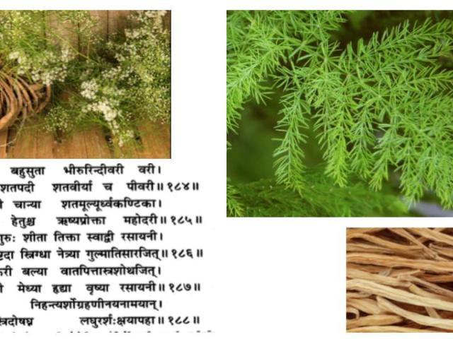 Asparagus-shatavari-ayurveda