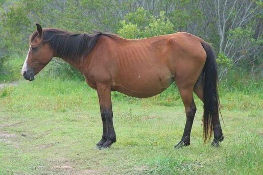 bigbellyhorse