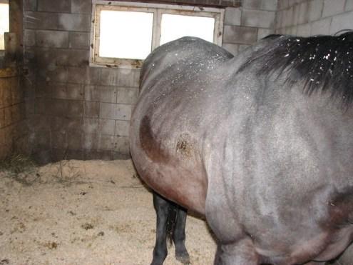 bigbellyhorse4