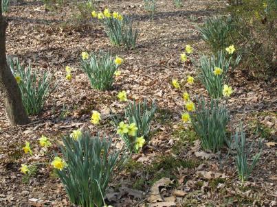Daffodils (Large)