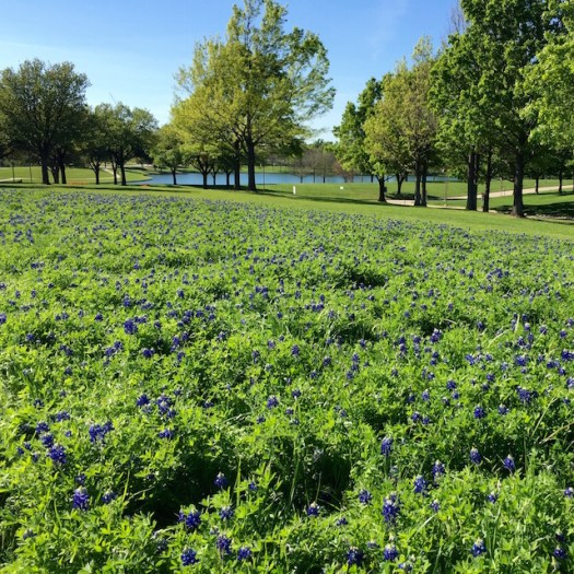 Bluebonnets - The healing we'll find affects us all ~ Crystal Gornto | HeartStories