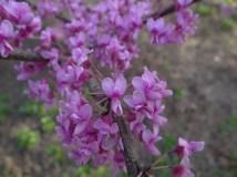 March: Redbuds in Bloom