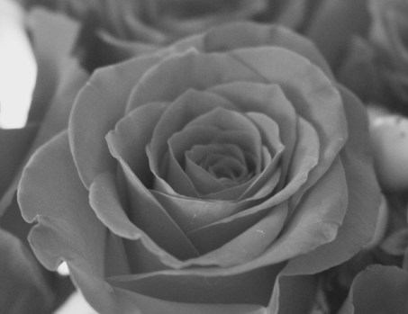 hww-black-and-white-rose