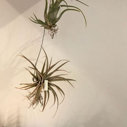 オシャレな植物が入荷しましたインテリアとしてお店に置いてありますが購入もできます#観葉植物 #多肉植物