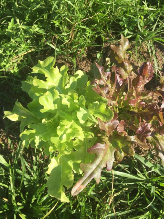 Green and red lettuce growing