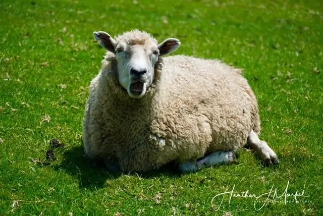 Shakespear Park sheep