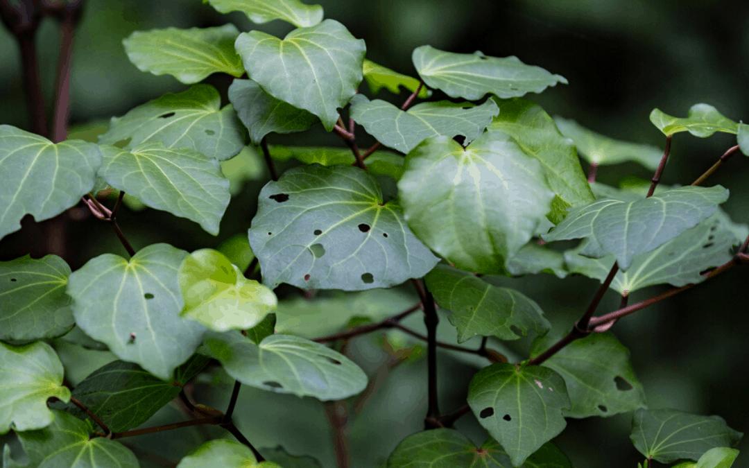 Making Kawakawa Balm – A New Zealand Experience From Kawakawa Plants