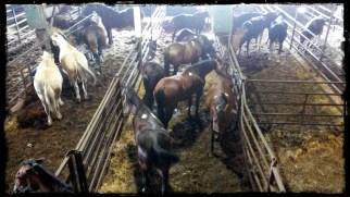 Healthy riding horses