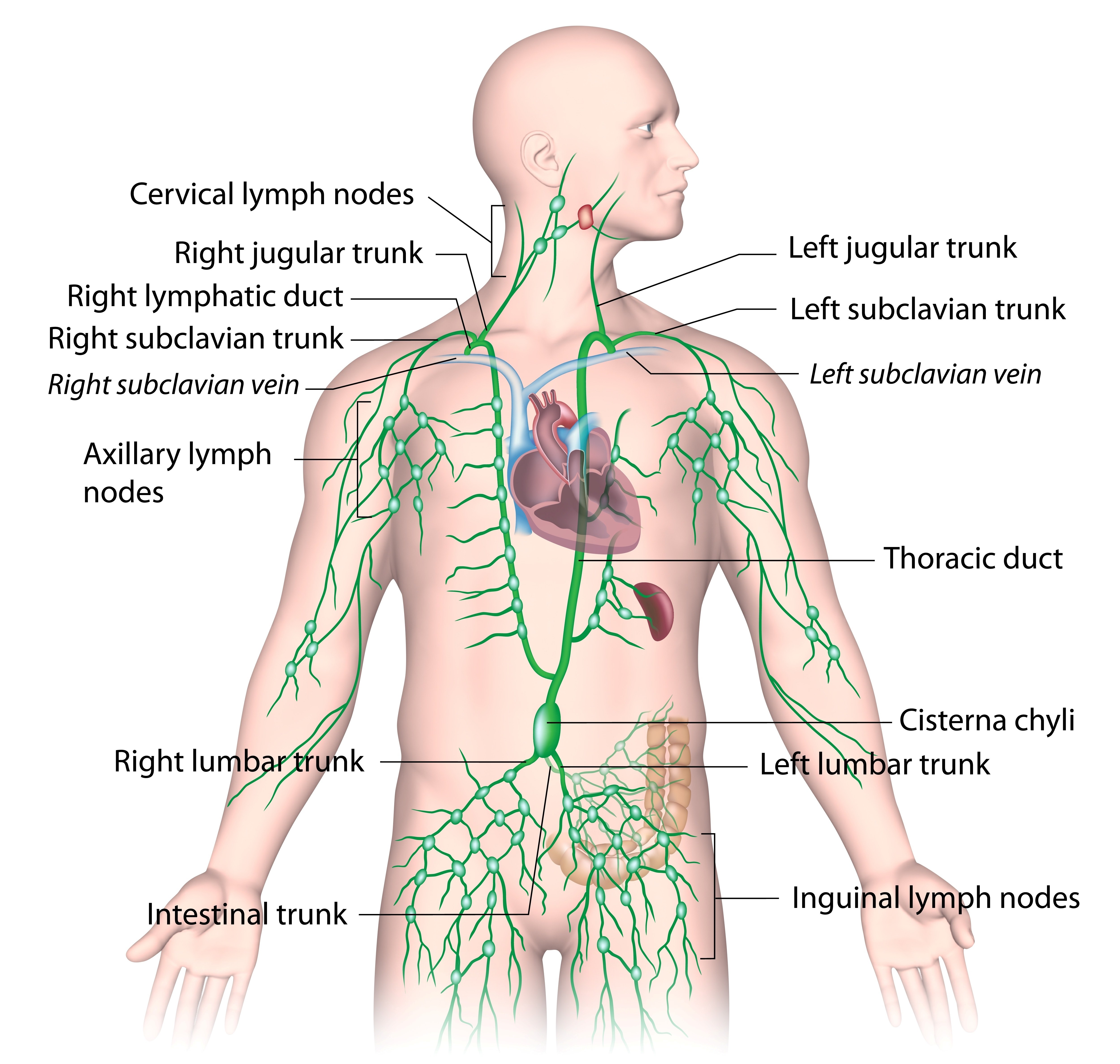 The Weight Gain Lymph Connection