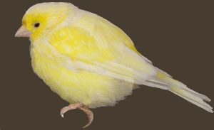 800px-Canario_canary_pájaro_bird