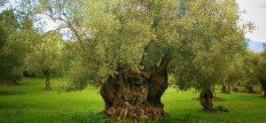 an olive oil tree
