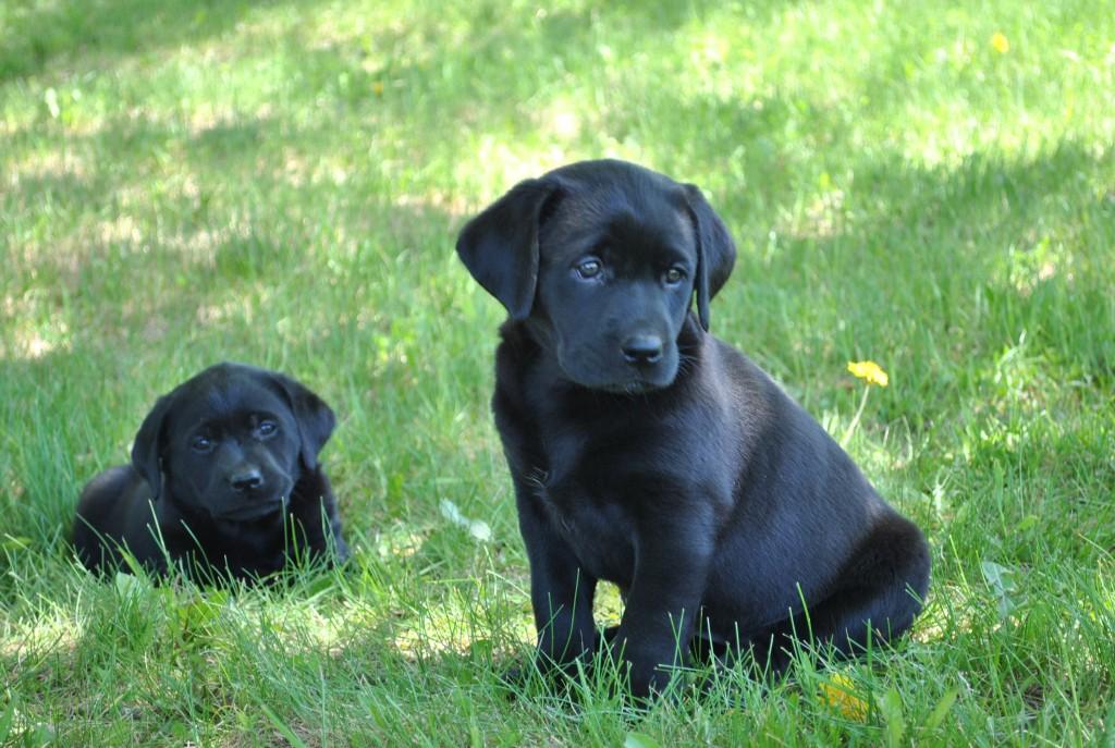 Labrador Retrievers Heather Hollow Lab Breeder Feedback