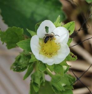 pollinator on my strawberries