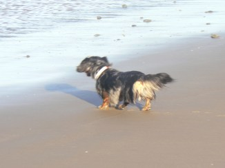 Ears and tail waving in sea breeze