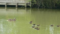 ducklings in motion