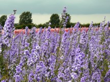 Violet Confetti Fields at Wick near Pershore