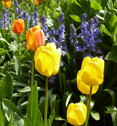 400 celebration Anne Hathaways Cottage Garden tulips and bluebells