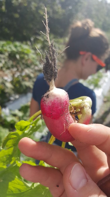 The French Radish