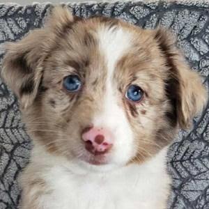 Toy Aussie Puppy