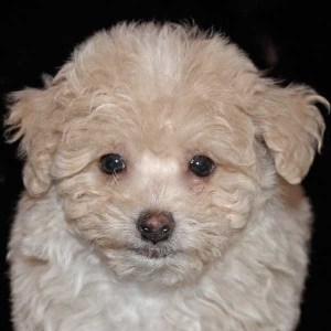 Poo-Chon Puppy for Sale