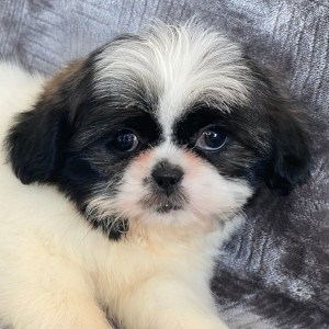 Shihpeek Puppy