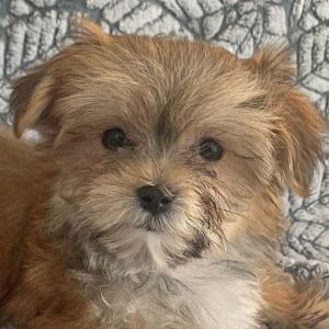 Teacup Morkie Puppy for Sale