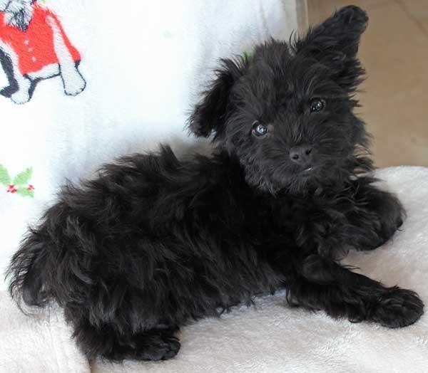 Yorkiepoo Puppy for Sale