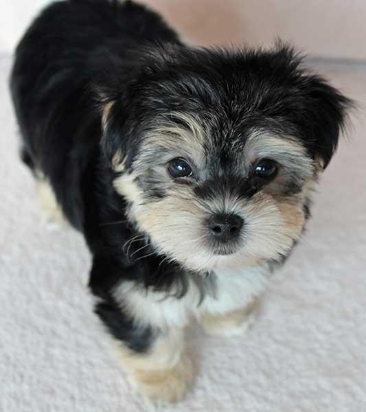 Yorkieton Puppy for Sale
