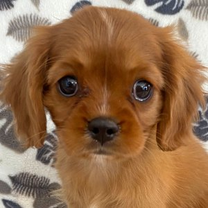Female Cavalier Puppy for Sale