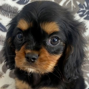 Male Cavalier Puppy for Sale