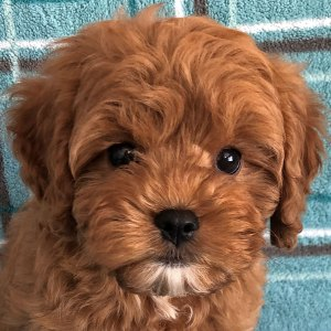 Male Cavapoo Puppy for Sale