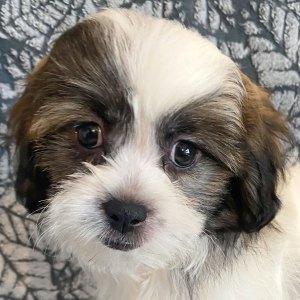 Female Teddy Bear Puppy for Sale