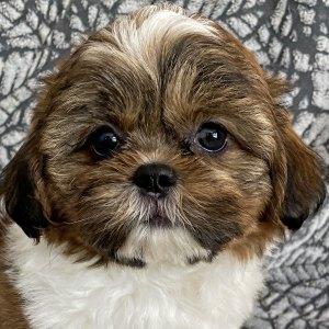 Male Shihtzu Puppy for Sale