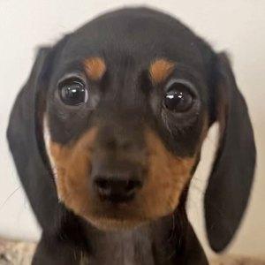 Female Dachshund Puppy for Sale