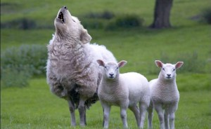wolves-in-Sheep's-clothing