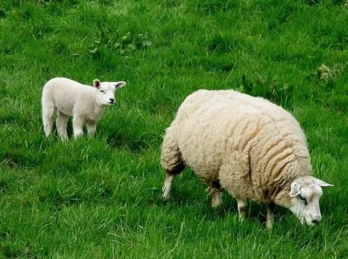 כבשים אמא ובן
