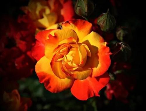 פרח ורד יפה