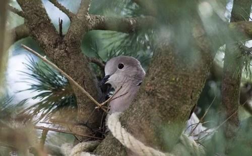 יונה בתוך הקן על עץ