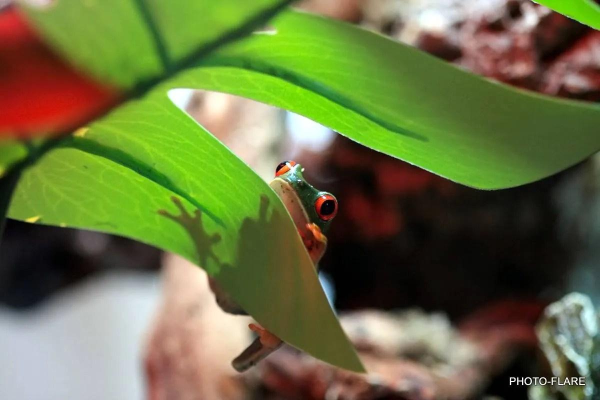 צפרדע אדומת עיניים